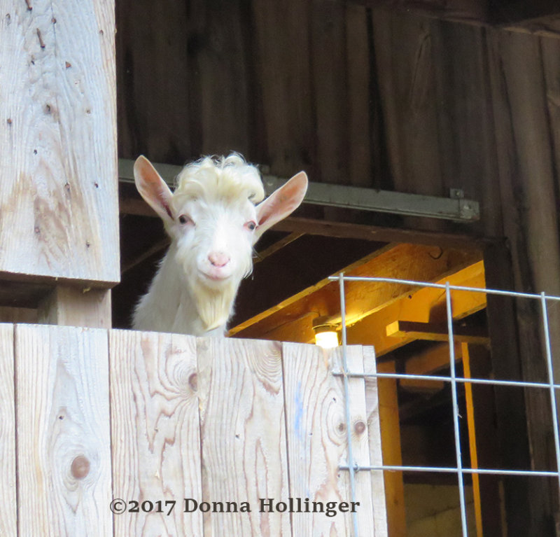Mr Curious Goat at Pic Conners