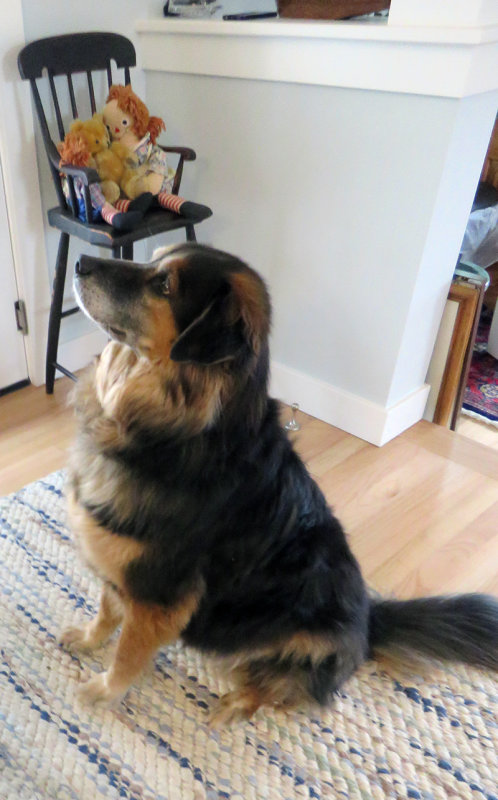 Patient and Good Natured Shepard at Eileens