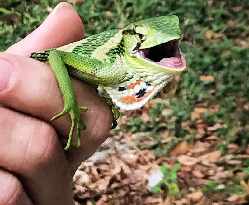 Polychrus gutturosus (Canopy Lizard)