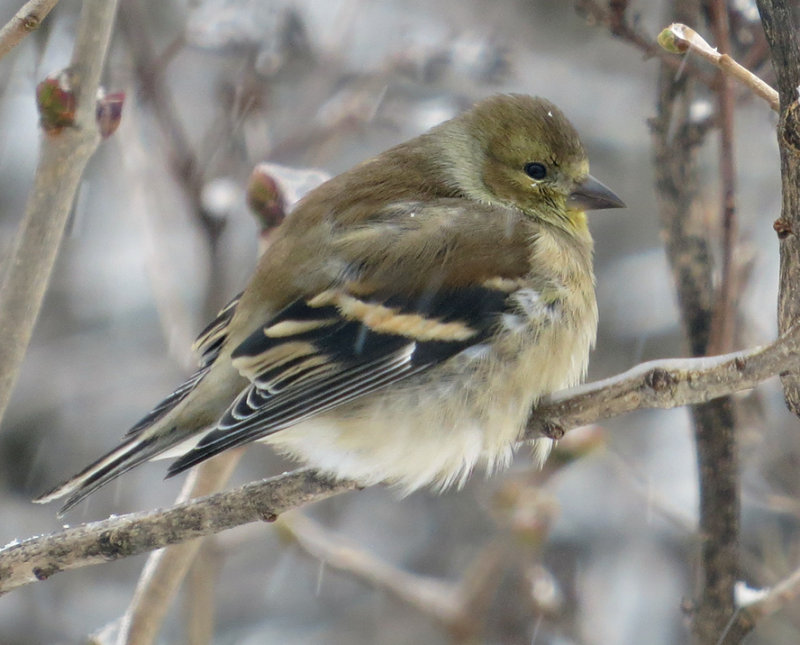 American Goldfinch waiting in the Lilac