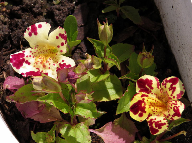 Mimulus Flower from garden 2014