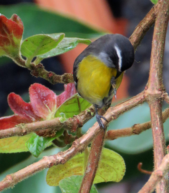 Costa Rican Birdie Pedicure