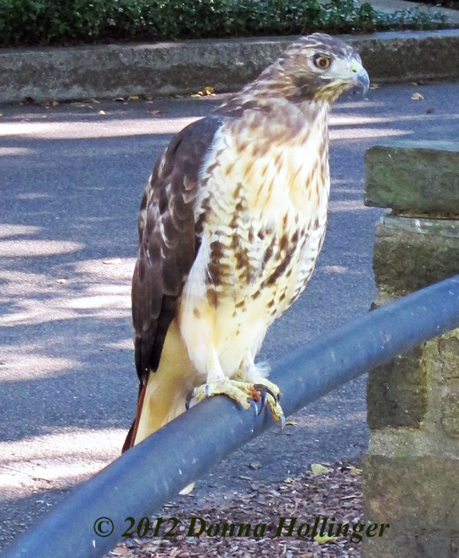 An immature Redtail Hawk who was trying to fish Spectacle Pond
