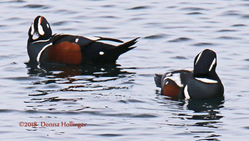 Two Harlequin Ducks Fishing in Rockport, MA
