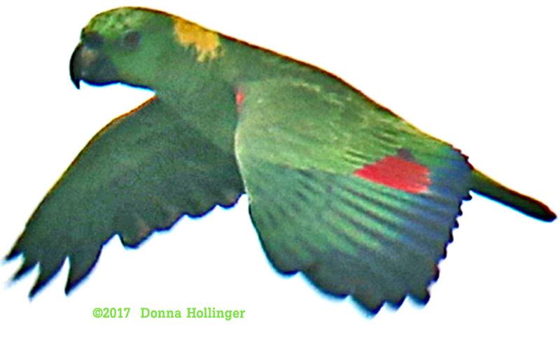 Yellow Naped Parrot  Amazona auropalliata