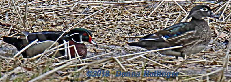 Feeding in the Field, Woodduck pair