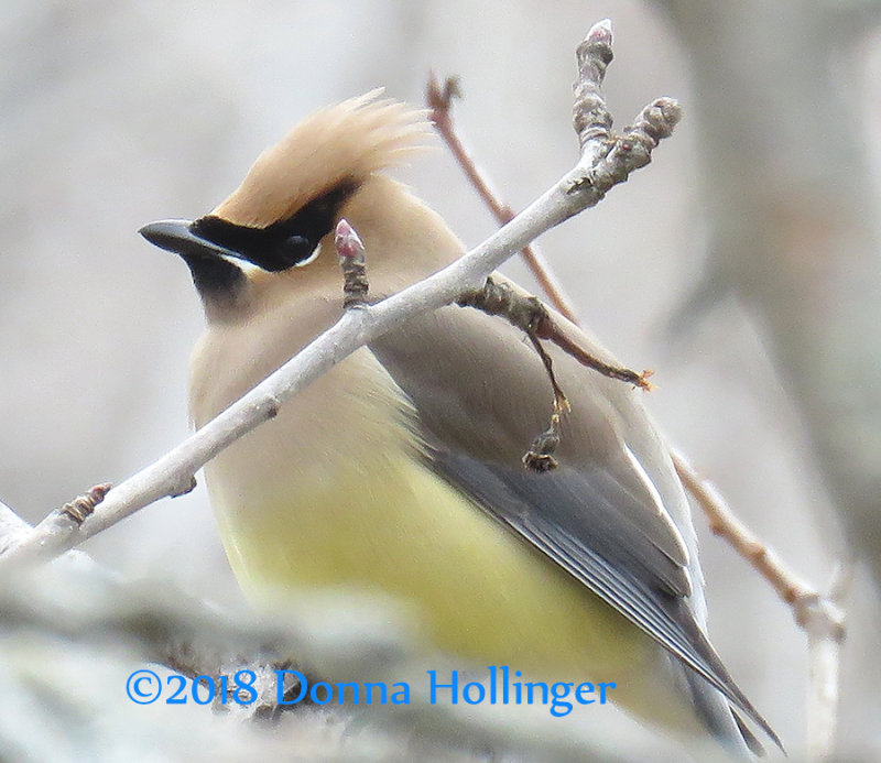 Yellow Belly Cedar Waxwing...