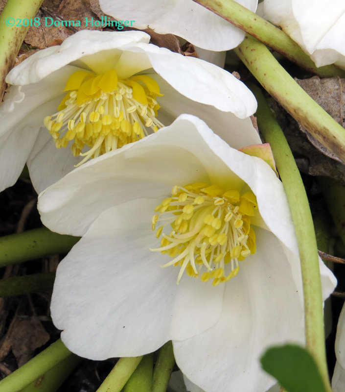 Hellebore Before the Snow