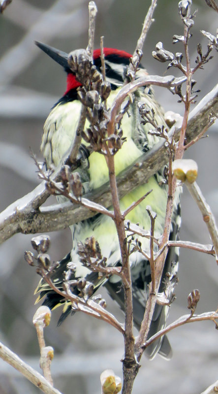 Icy Lilac Bush with Yellow-bellied Sapsucker