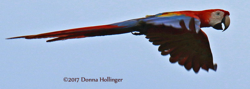 Scarlet Macaw (Ara macao) Flying By