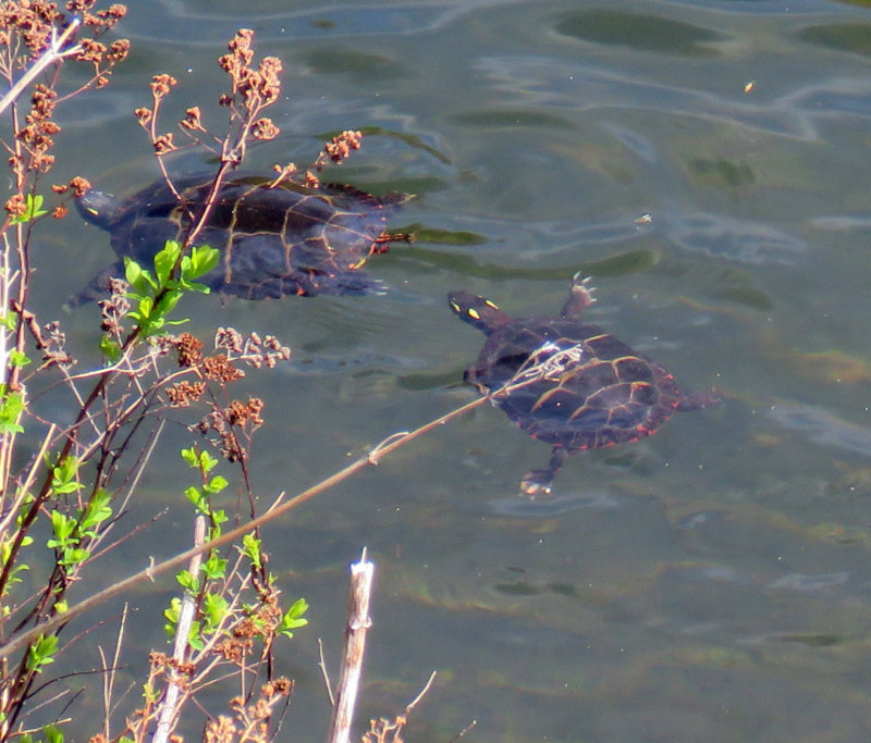 Chasing Each Other, Painted Turtles