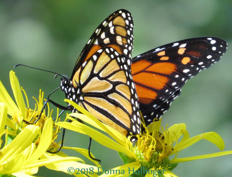 A monarch that sat still enough!
