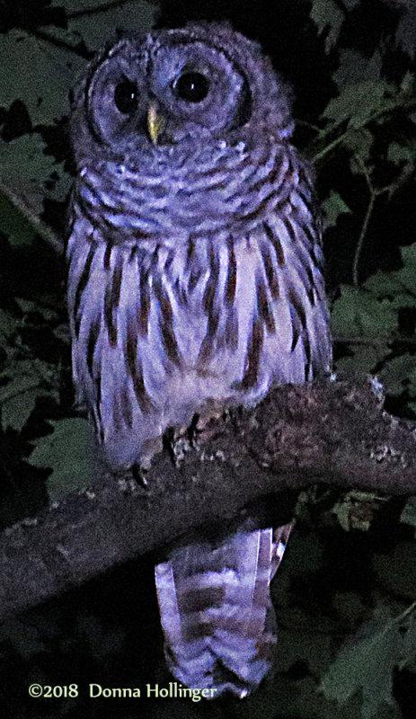 Barred Owl in South Strafford