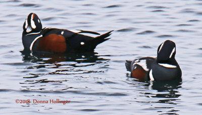 Two Harlequin Ducks in brighter light
