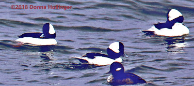 Buffleheads on Gloucester Coastal Rocks