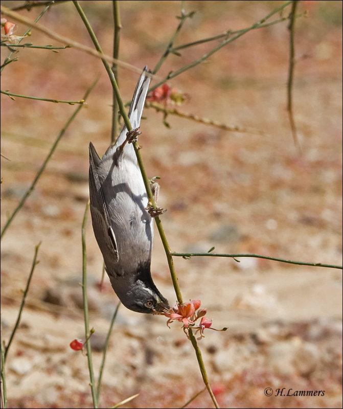 Rüppells Warbler  Rüppels grasmus - Sylvia ruppeli