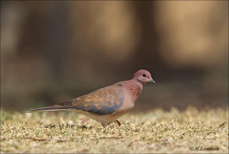 Laughing Dove - Palmtortel - Spilopelia senegalensis