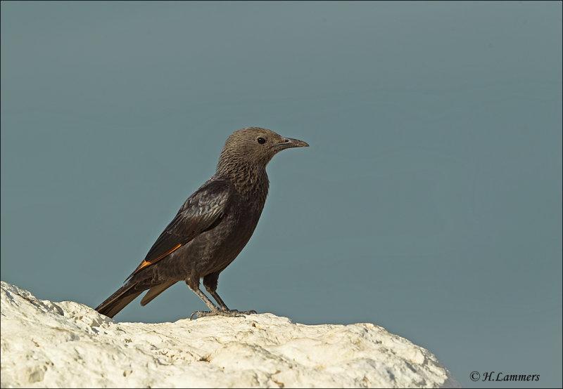 Tristrams Starling  (Female)  - Tristrams spreeuw (vrouw) - Onychognathus tristramii