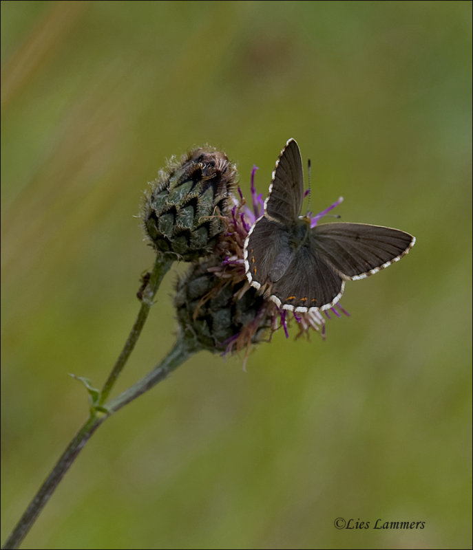 Chalkhill blue - Bleekblauwtje -Polyommatus coridon