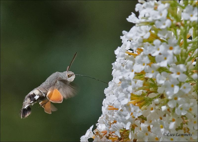Hummingbird Hawk moth - Kolibrievlinder - Macroglossum stellatarum