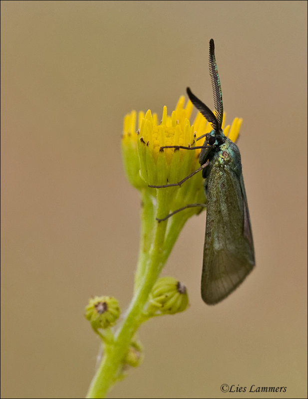 Blackthorn Aurora Moth - Bruine metaalvlinder - Rhagades pruni