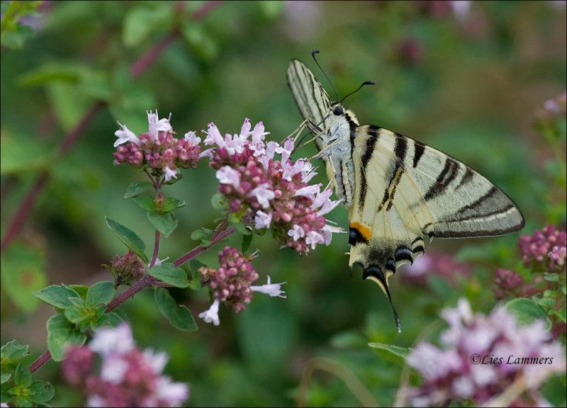 Scarce Swallowtail - Koningspage - Iphiclides podalirius