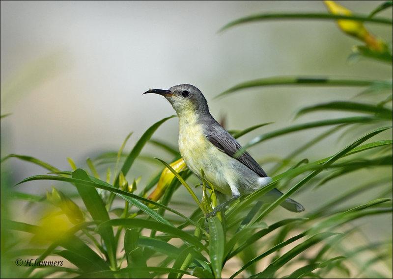 Purple sunbird -  Purperhoningzuiger - Cinnyris asiaticus