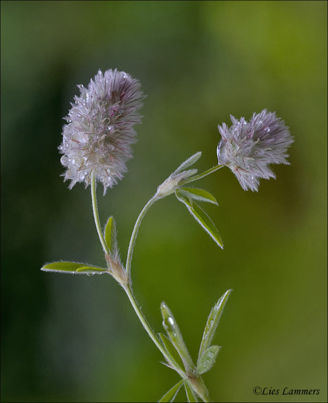 Hares Foot-clover - Hazenpootje - Trifolium arvense
