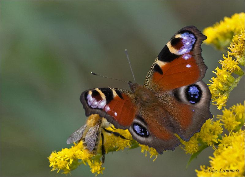 Peacock Butterfly - Dagpauwoog - Aglais io