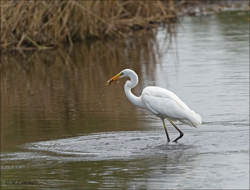 Great Egret - Grote Zilverreiger - Ardea alba