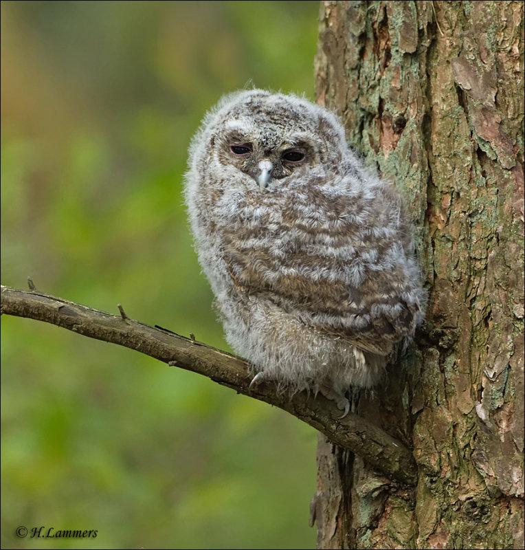 Tawny Owl  (Juvenile ) - Bosuil - Strix aluco