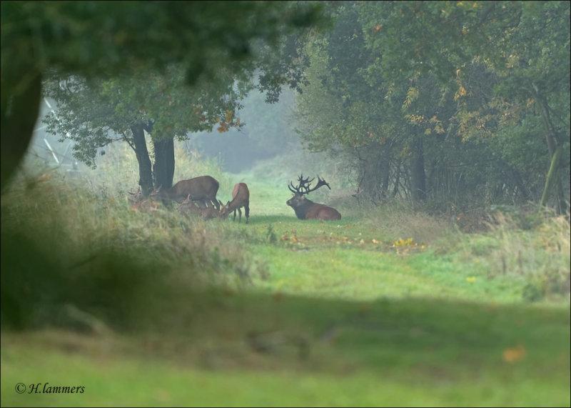 Red Deer - Edelhert - Cervus Elaphus