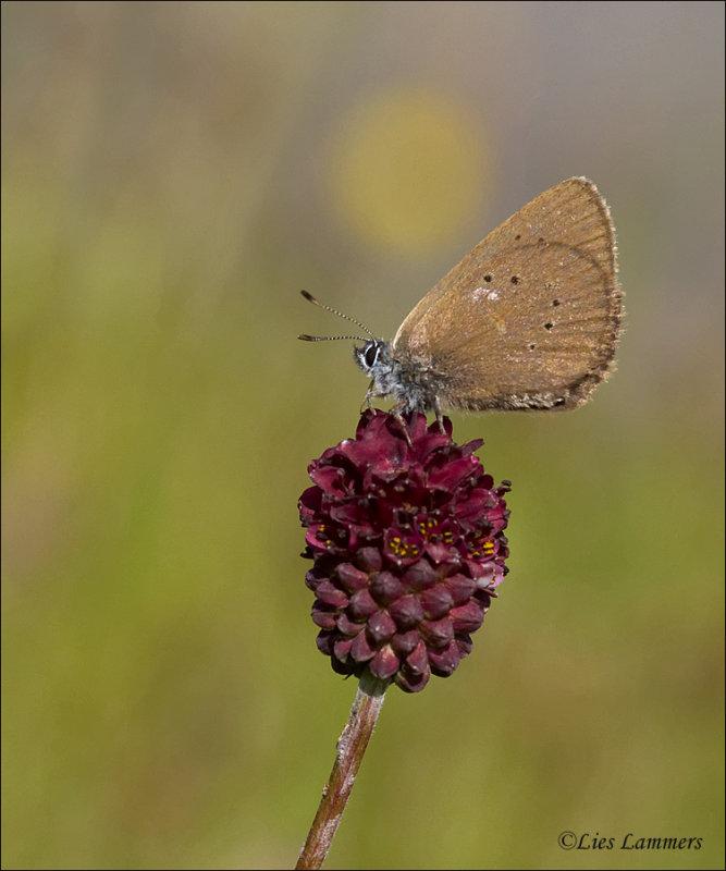 Dusky Large Blue - Donker pimpernelblauwtje - Phengaris nausithous