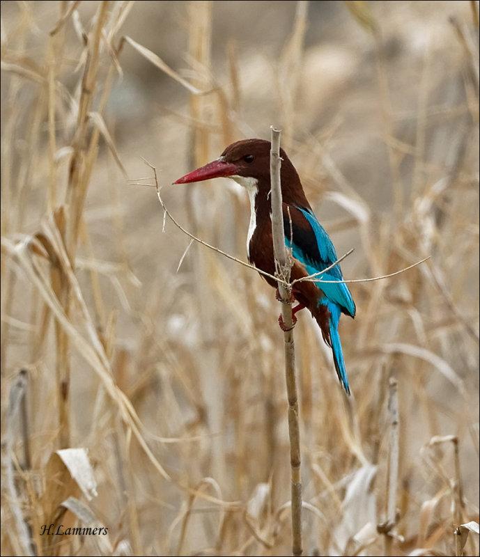 White-throated Kingfisher - Smyrna-ijsvogel - Halcyon smyrnensis