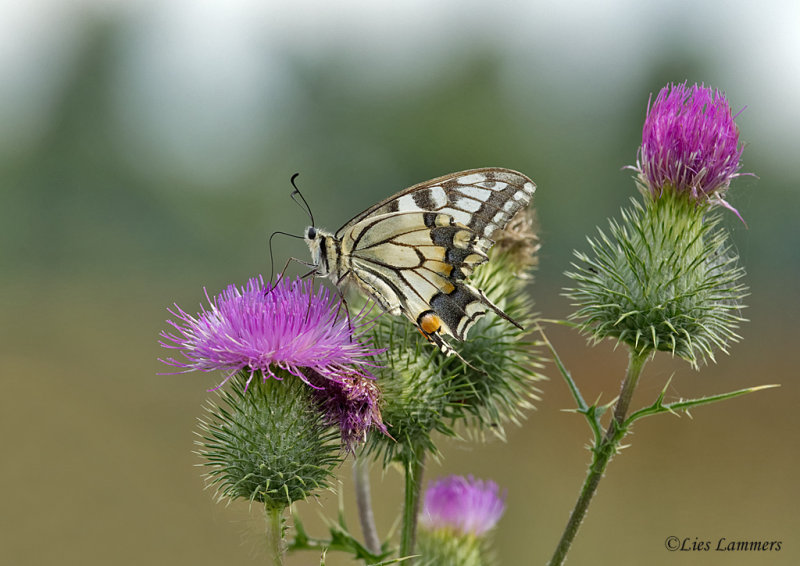 Swallowtail - Koninginnenpage - Papilio machaon
