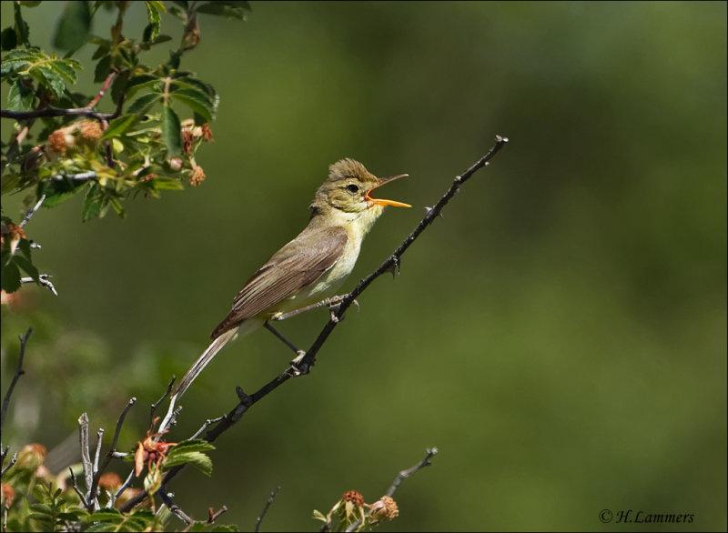 Melodious Warbler - Orpheusspotvogel - Hippolais polyglotta