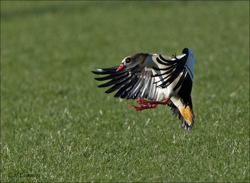 Egyptian Goose - Nijlgans -  Alopochen aegyptiaca