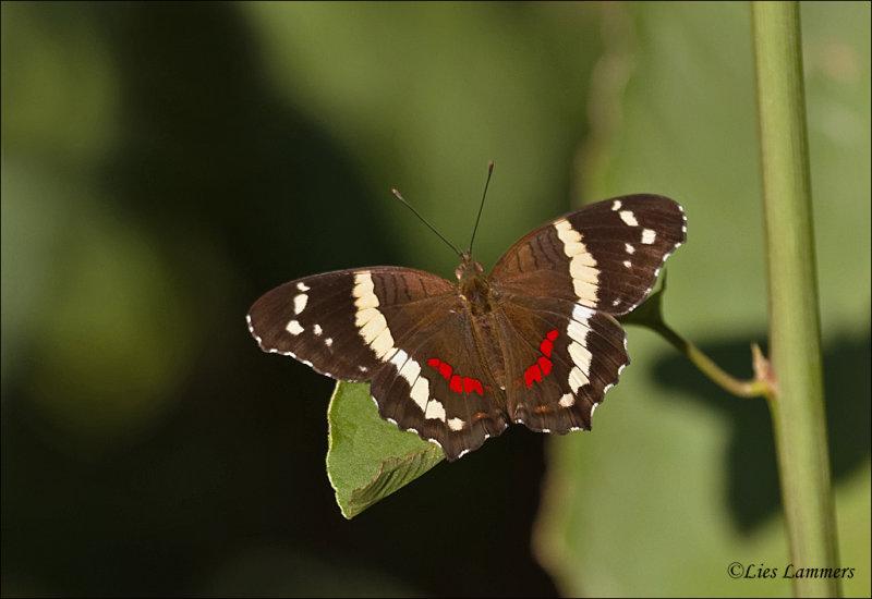 Anarthia fatima - Banded peacock