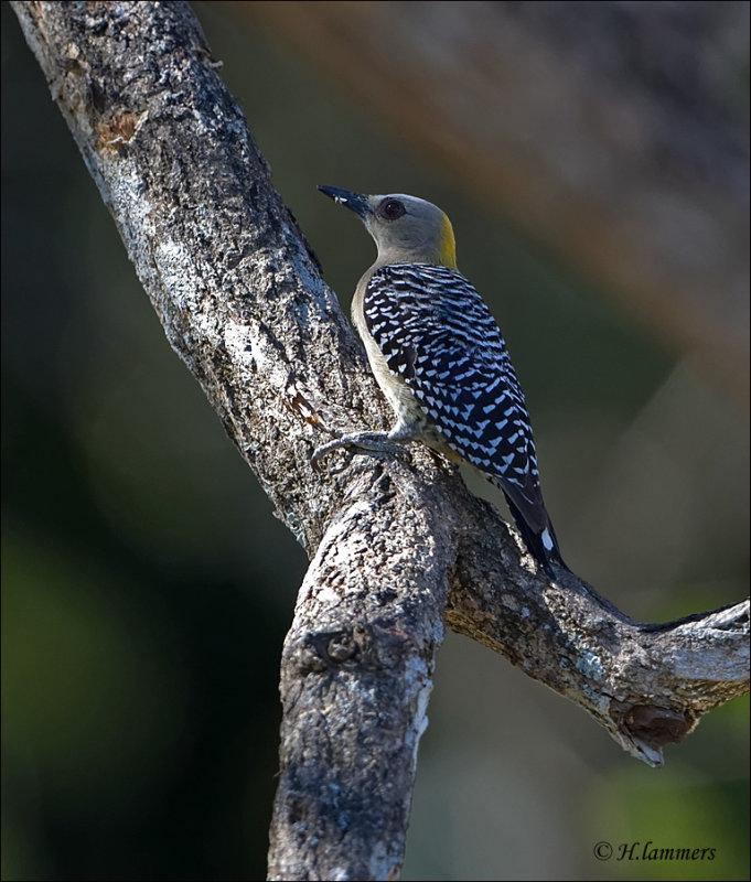 Hoffmanns Woodpecker (female) Hoffmanns specht - Melanerpes hoffmannii