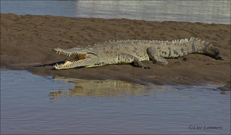 American Crocodile - Amerikaanse Krokodil - Crocodylus acutus