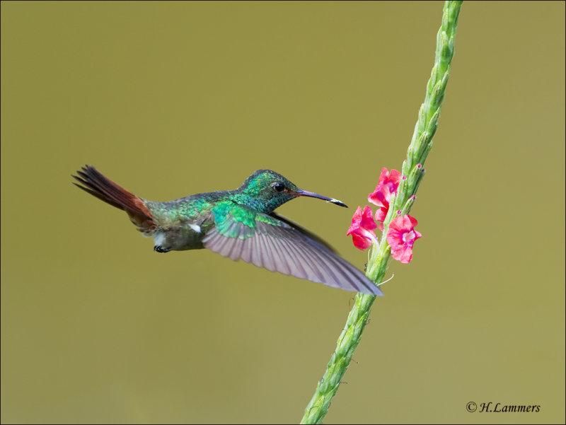 Rufous-tailed Hummingbird - Roodstaartamazilia - Amazilia tzacatl