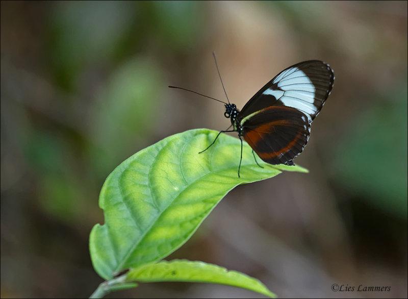 Heliconius cydno galanthus - Cydno Longwing