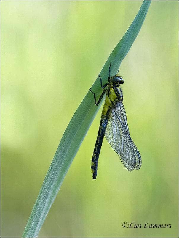 Common clubtail - Beekrombout - Gomphus vulgatissimus