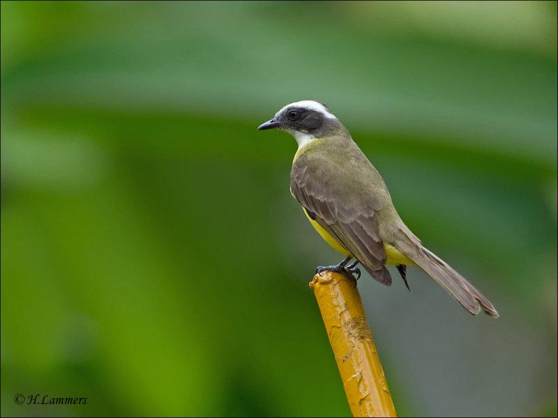 White - ringed Flycatcher - Witringtiran - Conopias albovittatus