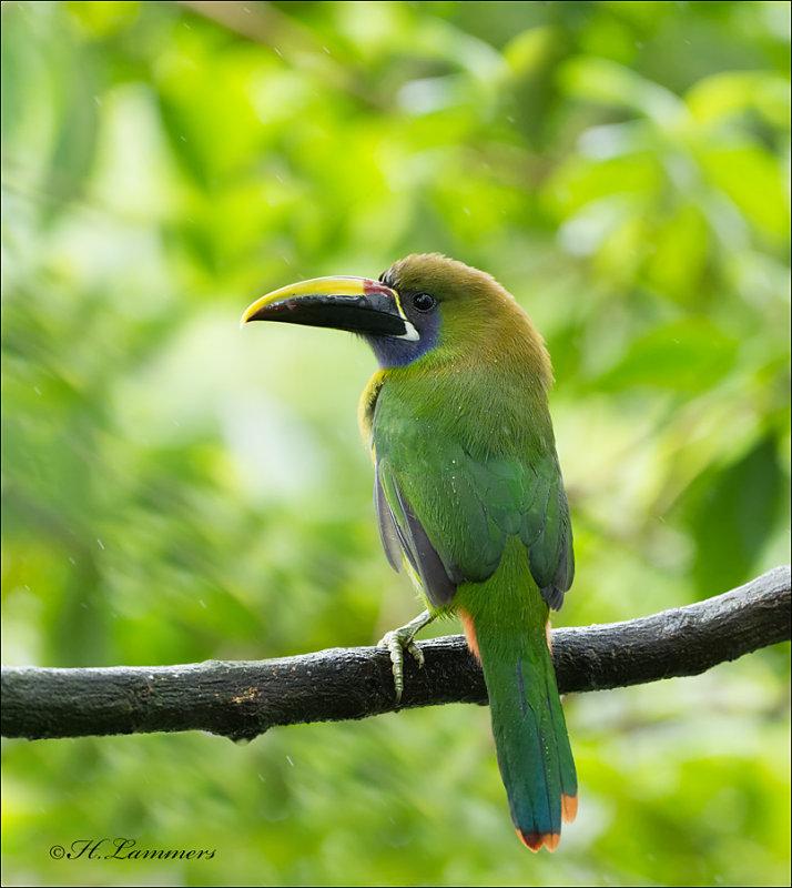 Emerald Toucanet - Smaragdarassari - Aulacorhynchus prasinus