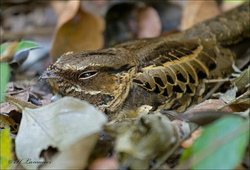 Lesser Nighthawk - Texasnachtzwaluw - Chordeiles acutipennis