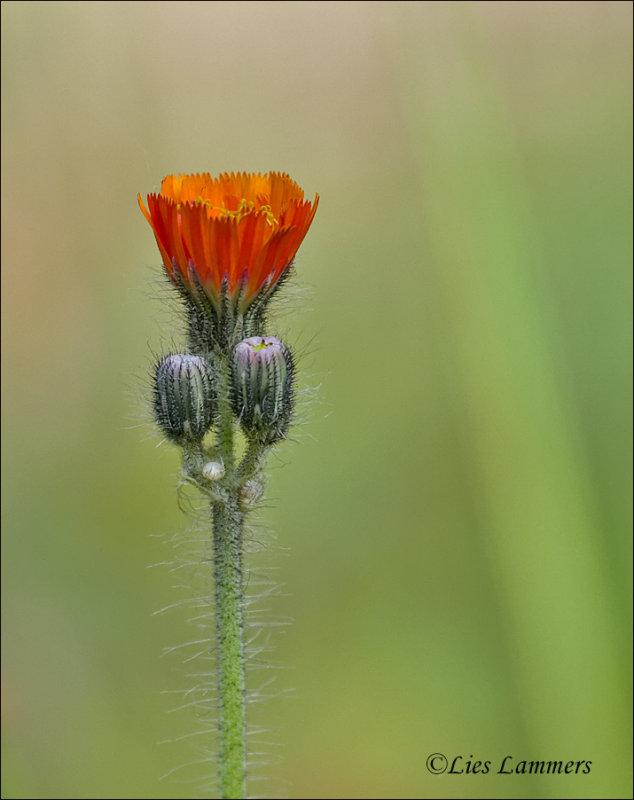 Orange hawkweed - Oranje havikskruid - Hieracium aurantiacum