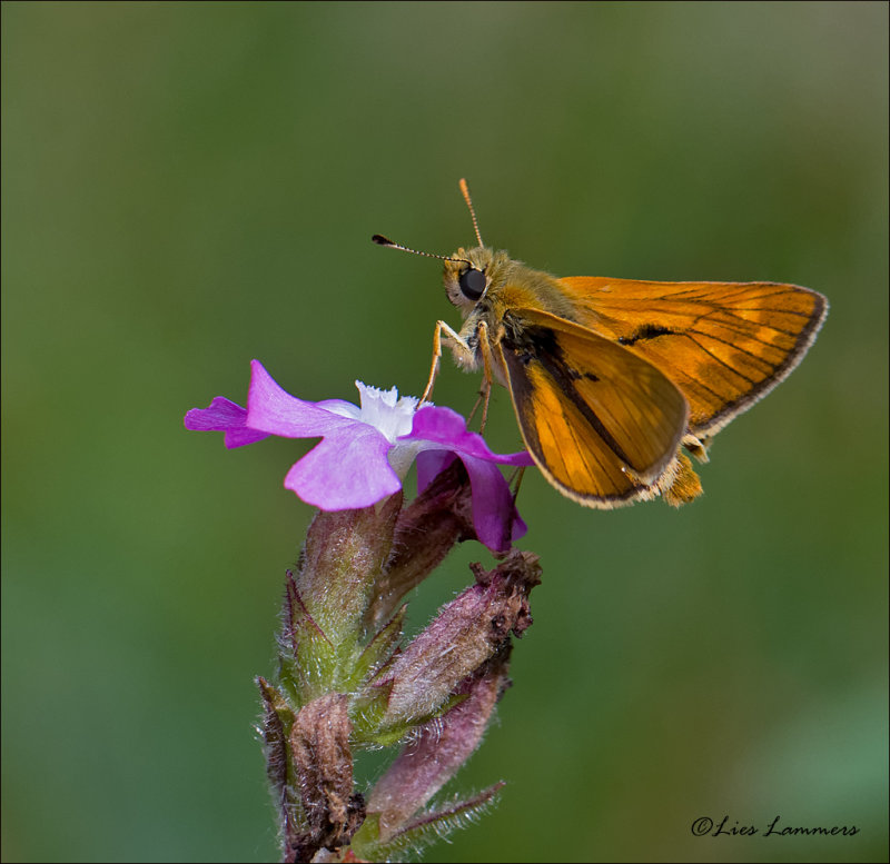 Large Skipper - Groot dikkopje - Ochlodes sylvanus