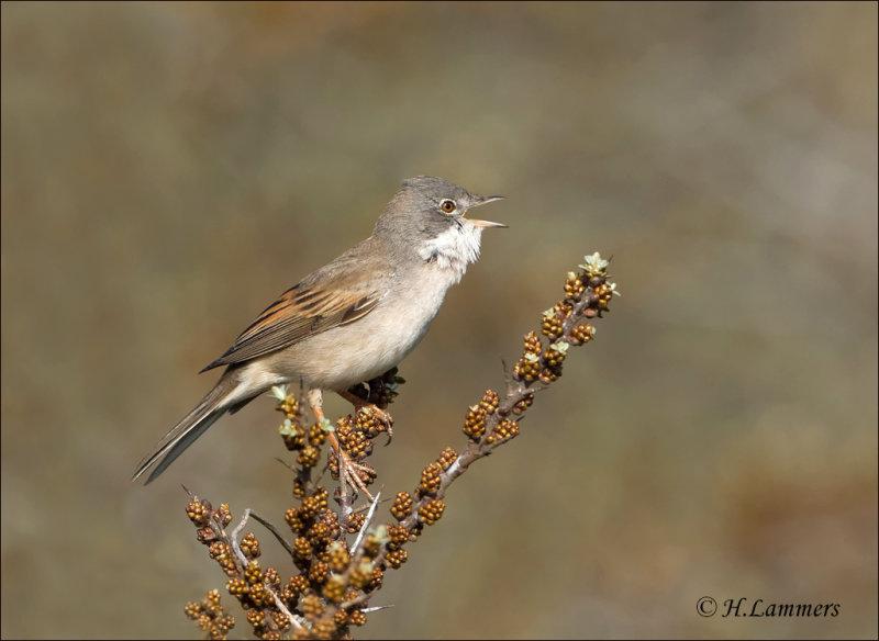 Common Whitethroat - Grasmus - Sylvia communis
