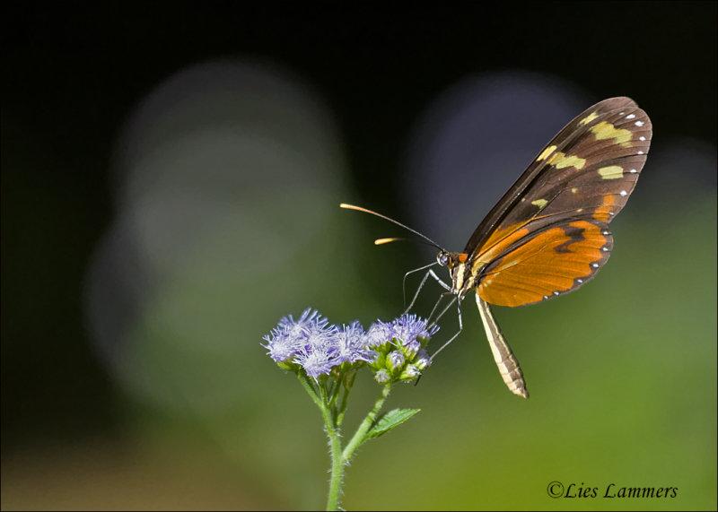 Polymnia Tigerwing - Mechanitis polymnia isthmia